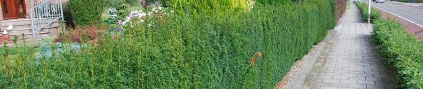 Planten taxushaag