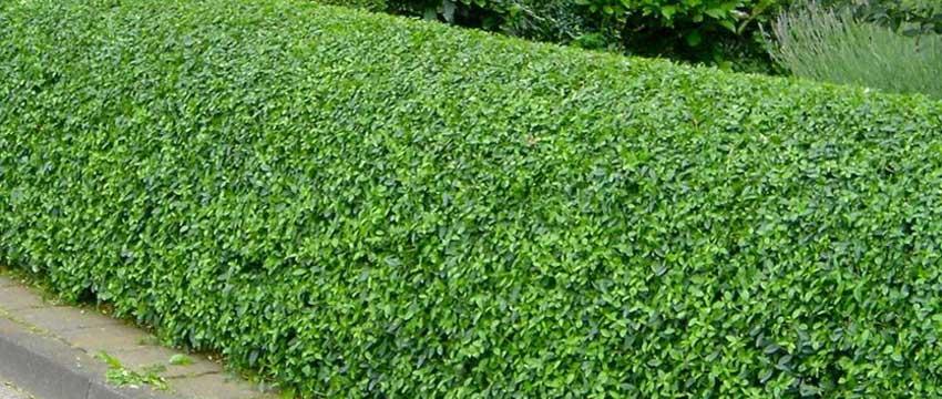 Snelgroeiende haagplanten