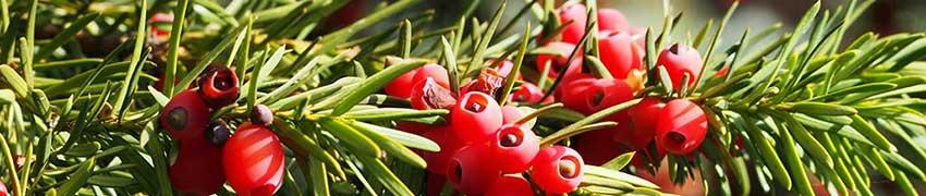 Taxussoorten online kopen haagplanten.net