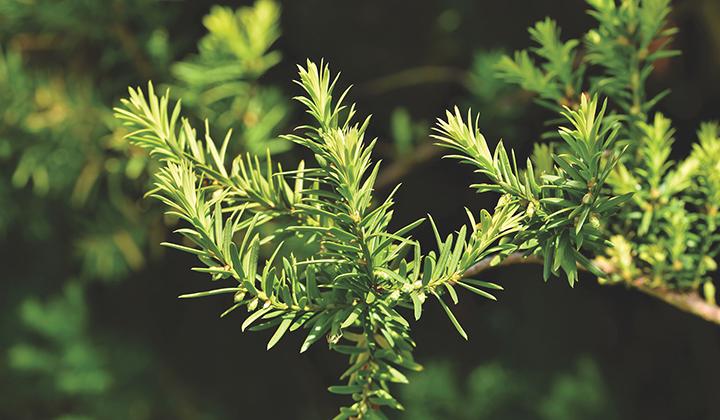 Giftige tuinplanten: taxus