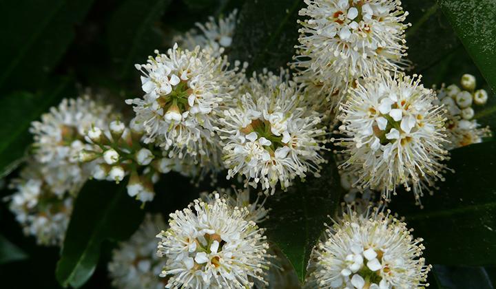 Haagplanten Prunus-geslacht