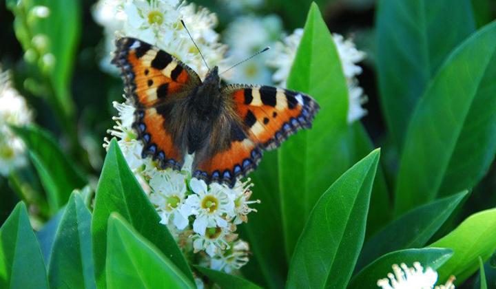 laurierhaag vlinder