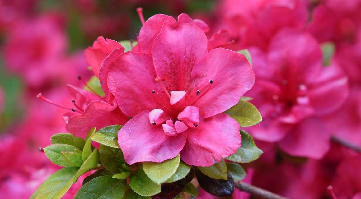Weinig onderhoud Rhododendron